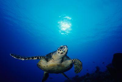Hawksbill turtle coral sea iStock_000013824124XSmall