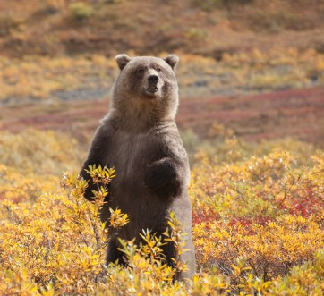 Bear standing in Denali
