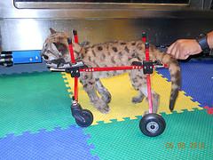Injured panther
