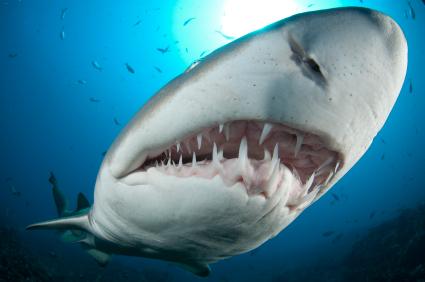 Shark week shark