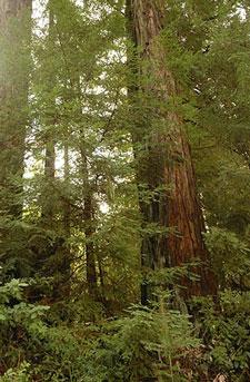 Bohemian-Grove-redwood-grov