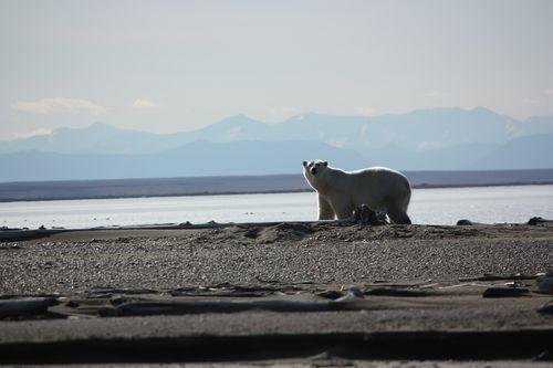 Refuge polar bear