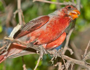 Desert cardinal  iStock_000013319858XSmall