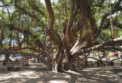 Banyan Tree Lahaina Maui