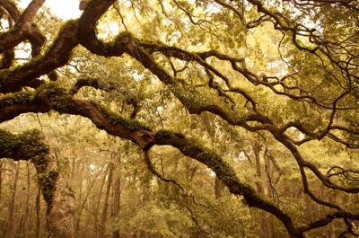 Ancient Angel Oak Tree