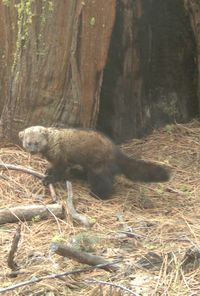 Pacific Fisher is on the Candidate List