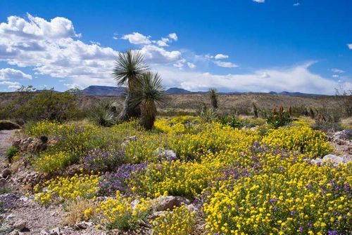 Desert bloom_copyright Lisa Mandelkern
