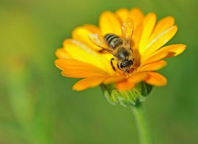 Honeybee  iStock_000014112575XSmall ajma_pl