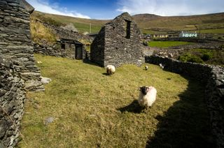 Sour sheep on the Dingle Peninsula