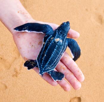 Sea turtle in hands