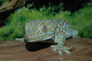 GeckoTokayUA