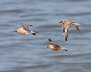 Red Knot is on the Candidate List