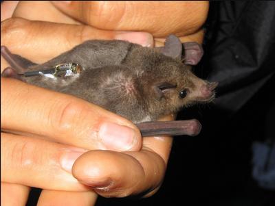 Lesser long-nosed bat