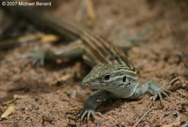Animal mating reproduction New Mexico whiptail lizard