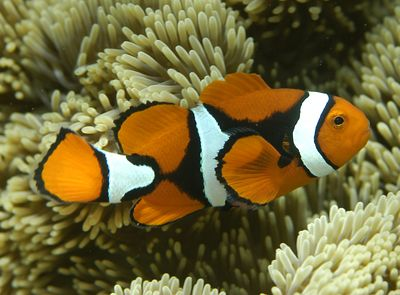 RS9676_Amphiprion_percula_orange_clownfish_CoralCoE_Flickr_FPWC_commercial_use_ok g.r. allen