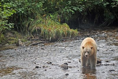 Spirit Bear in river