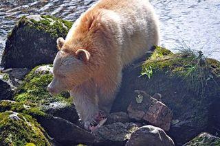 Spirit bear 5