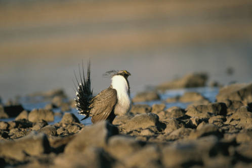 Greater_SageGrouse