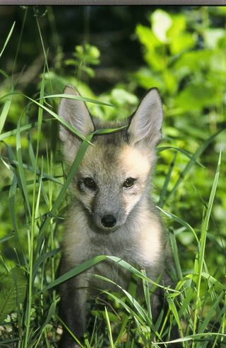 Red Fox Kit 044
