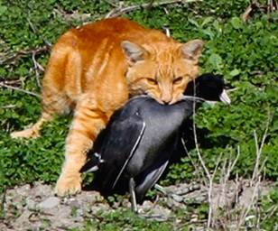 Cat with American coot