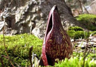 Strange flowers eastern skunk cabbage