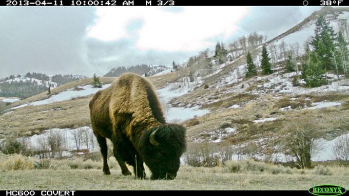 Bison-killed-by-DOL