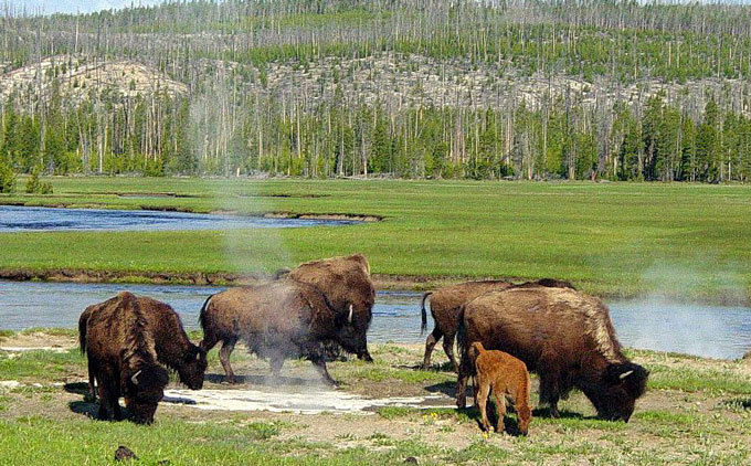 Yellowstone-bison