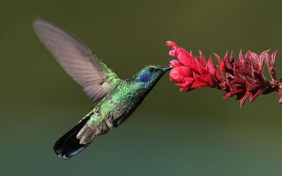 green violetear feeding