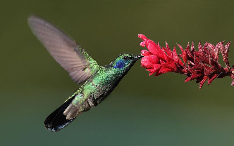 Green violetear feeding
