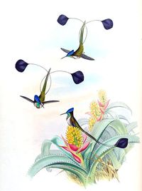 Illustration of marvelous spatuletail (loddigesia mirabilis), 1861