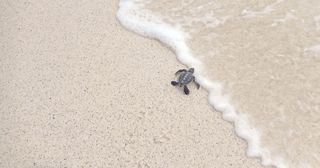 Baby turtle meets the ocean for the first time