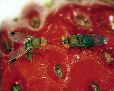 Two Spotted Wing Drosophila on a strawberry