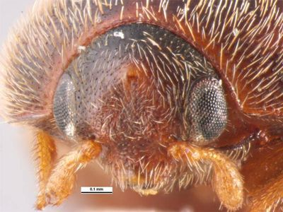 A mature Khapra Beetle shown under magnification