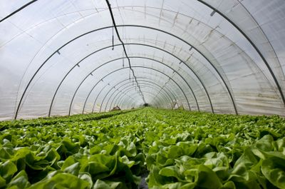 An industry size hoop house
