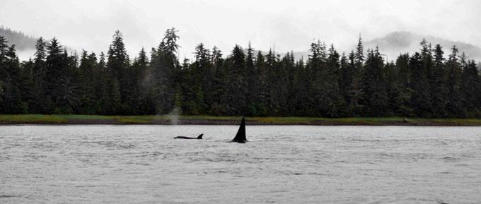 Orca-&-baby-near-Petersburg