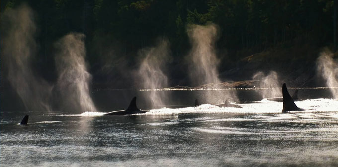 Orcas-in-San-Juan-Islands
