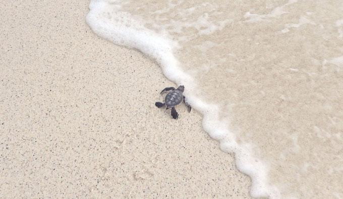 Baby-sea-turtle