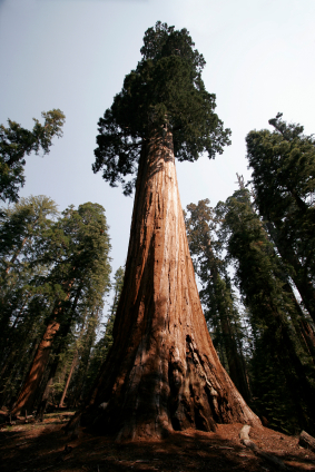 Redwoods are the tallest trees on the planet