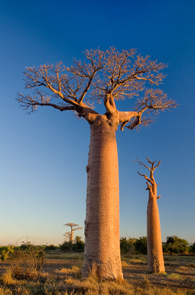 Baobab trees hold water in their swollen trunks