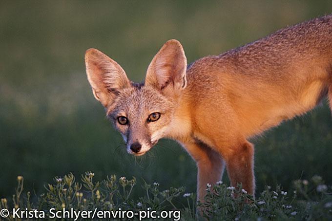Desert-fox