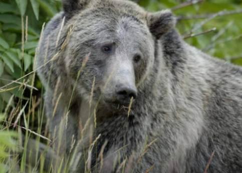 Grizzly USFWS