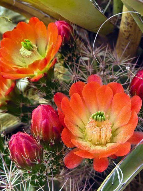 004-Dona-Ana-Mtns-Claret-Cup-Cactus