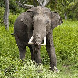 256px-2005-bandipur-tusker