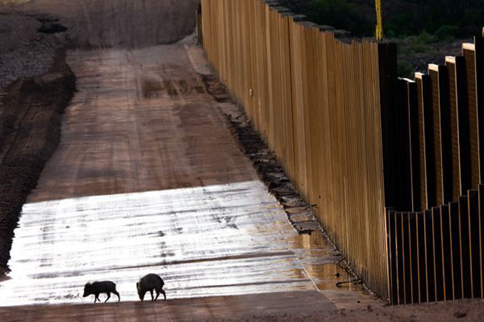 Javelina-at-border-wall