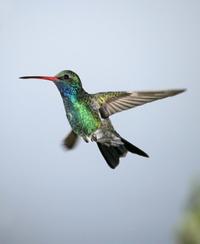 Broadbilled_hummingbird