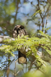 Cuban_nightjar