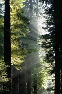 Redwoods_istock_000005499705xsmal_2