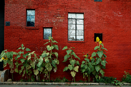 Sunflowers_red_wall_istock_00000197