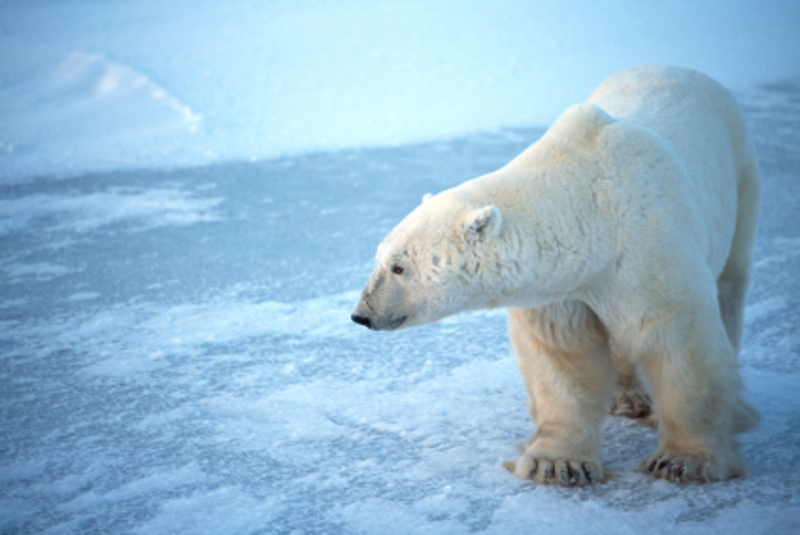 Polar_bear_istock_000004462508xsmal