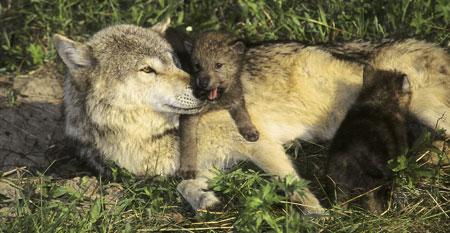 Graywolfwithcubs
